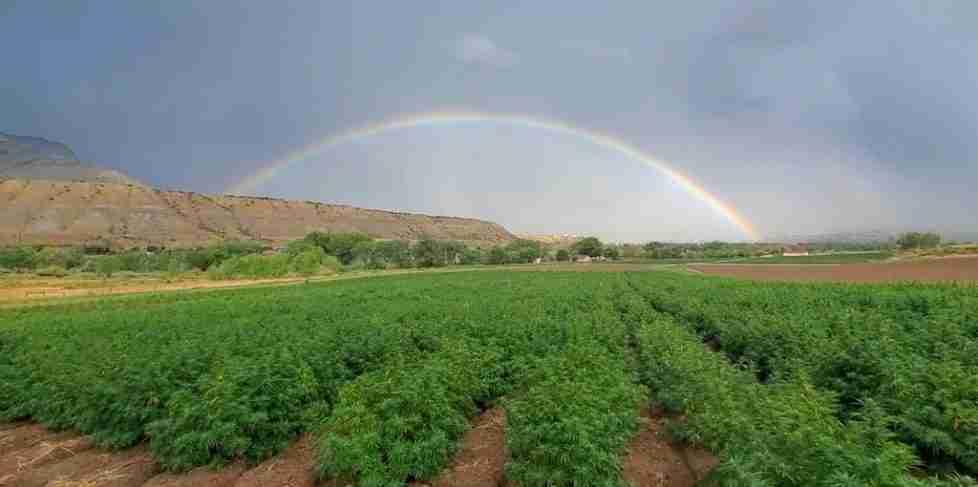 2019 Hemp Lively Hemp Harvest in Parachute Colorado
