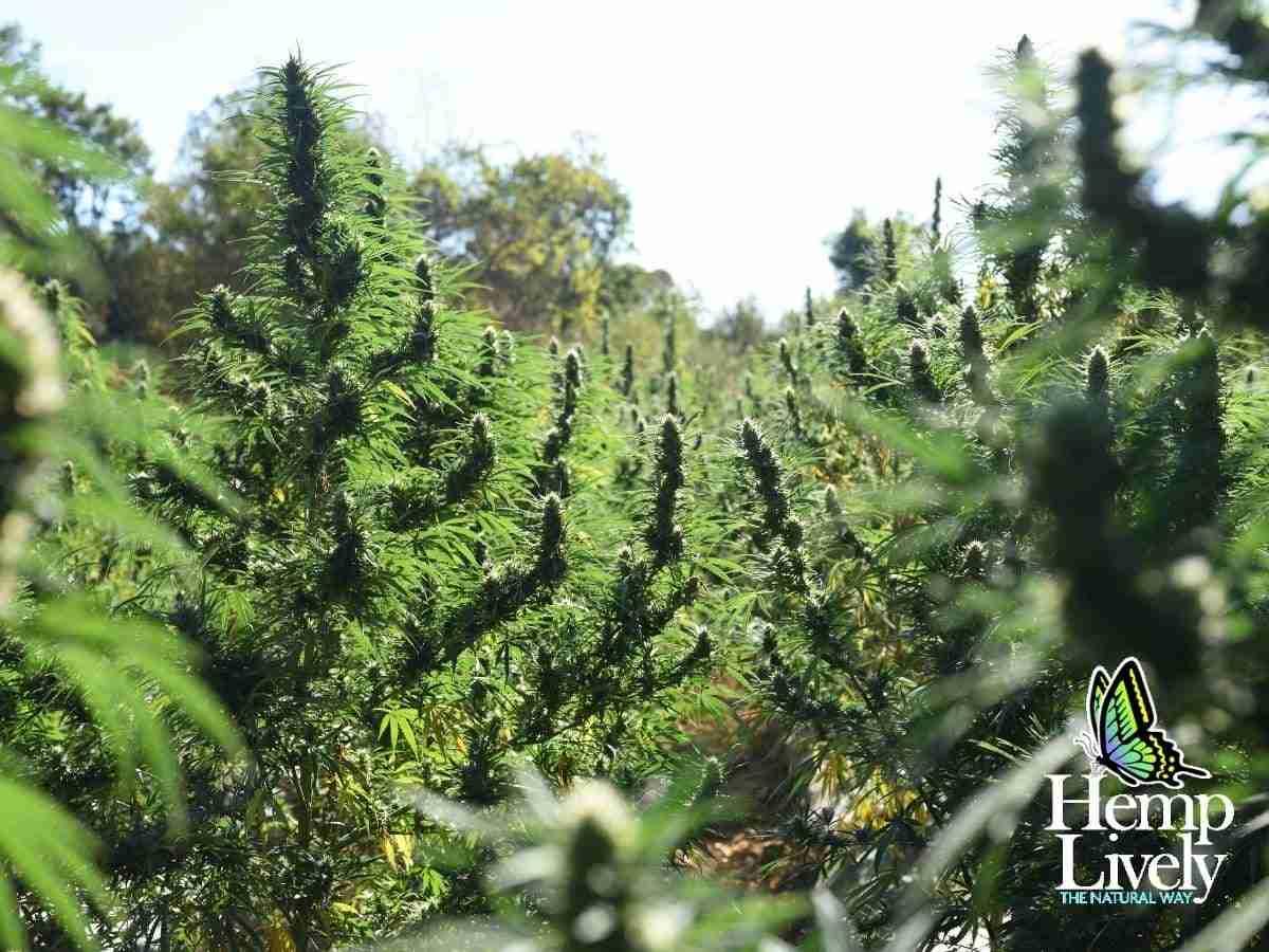 walking through weed farm row